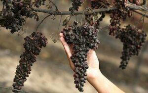 rotten_grapes.jpg