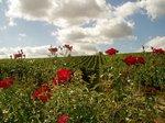 vineyard_roses-thumb-150x112-2174.jpg