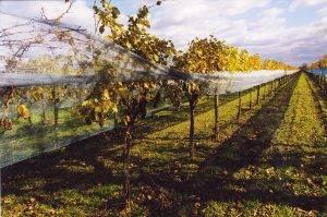 09 vineyard