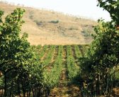 Great quality, low yields – The Indian Wine Harvest