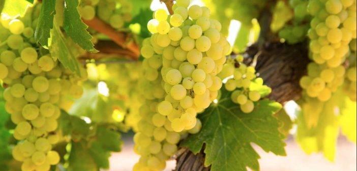 Varietal Versatility – Sommelier India tastes Chardonnay wines